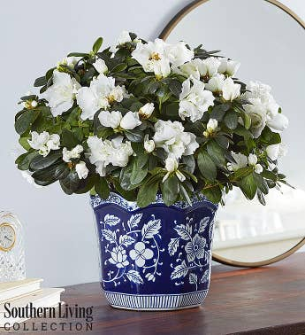 White Azalea by Southern Living