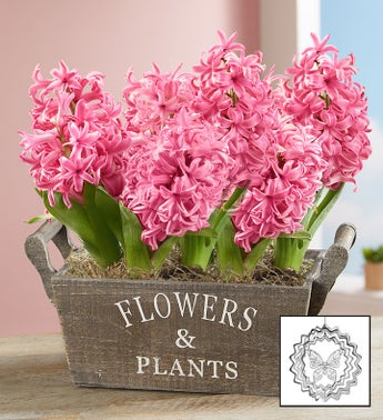 Heavenly Hyacinth Bulbs  Free Suncatcher