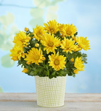 Cheerful Blooms Yellow Daisy Mum