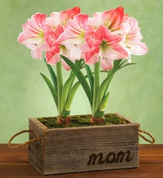 Mother's Day Apple Blossom Amaryllis Gift