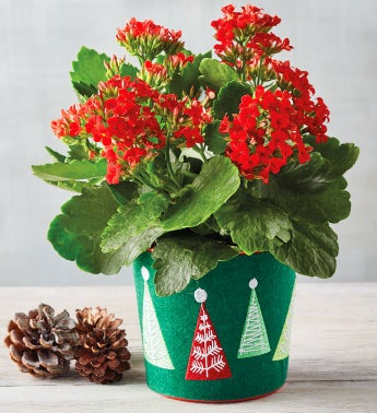 434 Red Kalanchoe