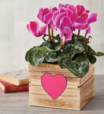 434 Cyclamen in Heart Crate